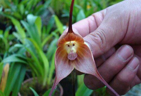 Hoa lan khỉ có thể nở bất cứ lúc nào mà không ở thời điểm cụ thể. Điểm nổi bật của loài hoa này đó là chúng còn có mùi hương giống cam chín. : Imgur