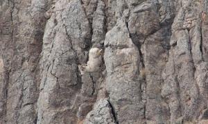 Ảnh cừu sừng lớn đi trên vách đá thẳng đứng gây tranh cãi