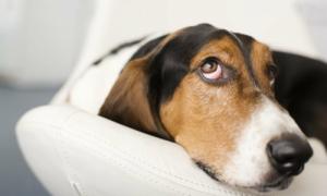 Tại sao con chó không cắn được đuôi của mình?