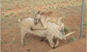Kangaroo giao phối với lợn cái suốt hơn 1 năm