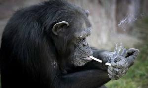 Con tinh tinh nghiện thuốc lá trong vườn thú Triều Tiên