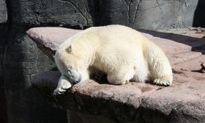 Gấu Bắc Cực đực phải rời sở thú sau khi 'ly hôn'
