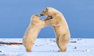 Gấu trắng vui vẻ nhảy múa, hôn nhau giữa trời tuyết