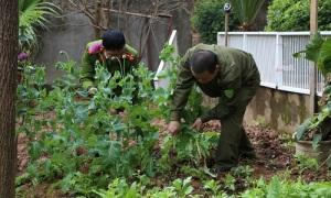 Trồng cây thuốc phiện xen kẽ ở vườn rau