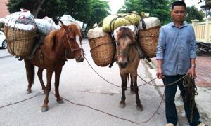 Dùng ngựa thồ 50 kg quả thuốc phiện đi bán