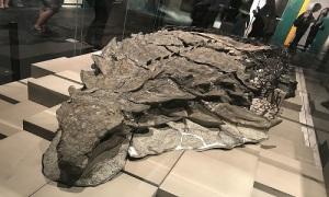 Hóa thạch nguyên vẹn sau 110 triệu năm của khủng long bọc giáp