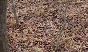 Kỹ năng ngụy trang bậc thầy của chim làm tổ trên mặt đất