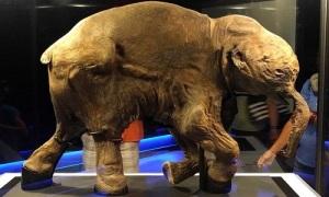 Xác voi ma mút đầy đủ da lông vùi dưới băng 42.000 năm