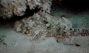 Cá mặt quỷ ngụy trang thành san hô rình mồi