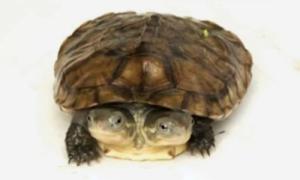 Rùa hai đầu 7 tháng tuổi ở Trung Quốc
