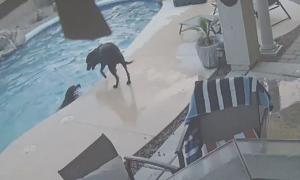 Chó lao mình xuống hồ bơi cứu bạn