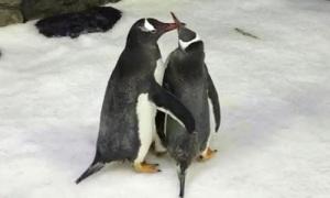 Đôi chim cánh cụt đồng tính lên chức cha mẹ