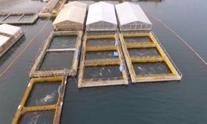 'Nhà tù' giam cầm cá kình và cá voi ngoài khơi Nga