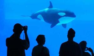 Nga cảnh báo nạn buôn lậu cá voi sang Trung Quốc