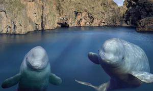 Cá voi trắng được thả tự do sau 10 năm sống trong thủy cung