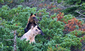 Gấu nâu dần biến thành trắng trên hòn đảo Nga