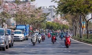 Người Sài Gòn xuống phố ngắm hoa kèn hồng