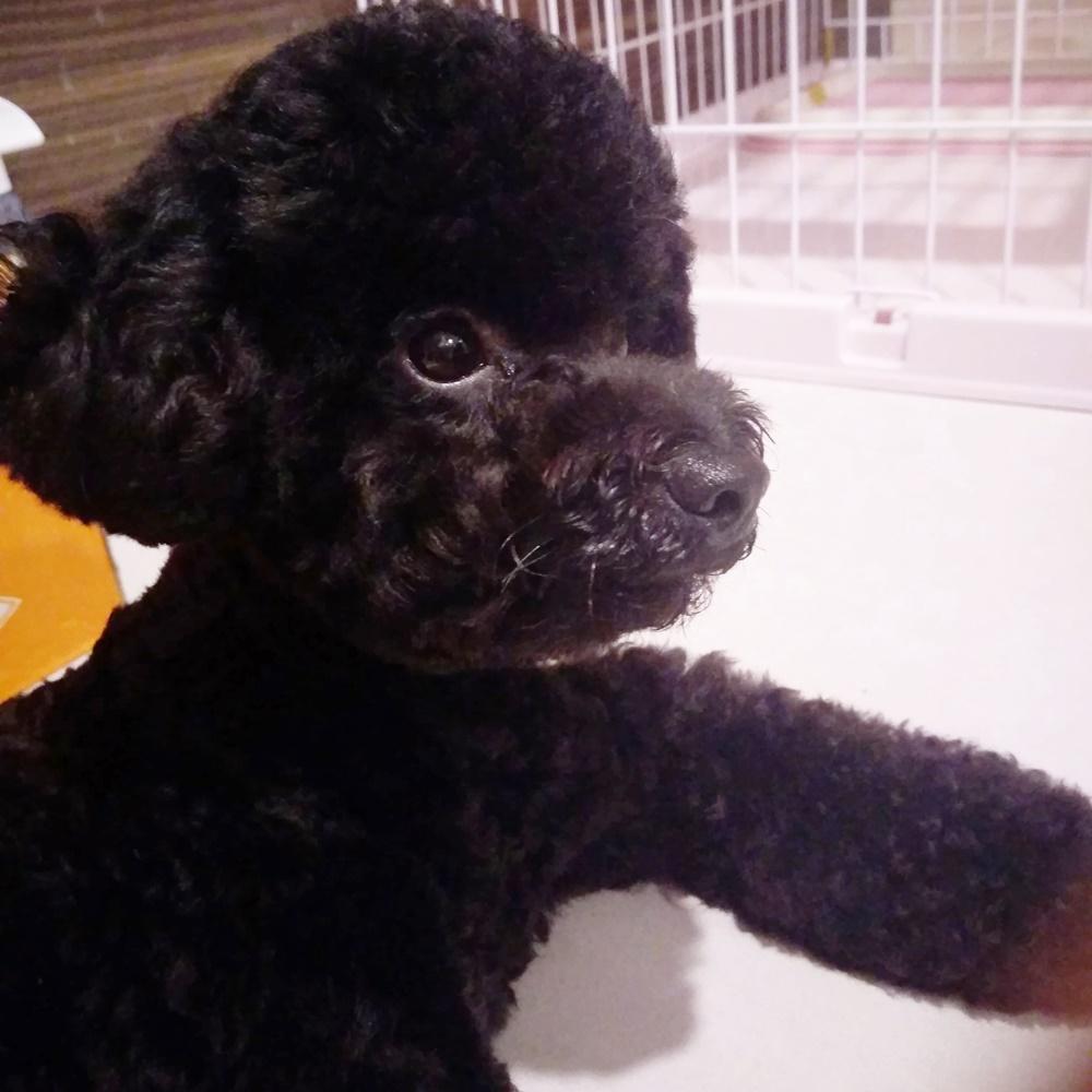 Mình từng nghĩ rằng chó thường quậy phá nên lúc bé mới về nhà mình đã nhốt Choco trong chuồng từ sáng đến tối. Cho đến một hôm, Choco đã xổng chuồng theo đúng nghĩa đen. Thấy bé cũng không phá phách gì nên từ đó đến giờ cho bé ở ngoài luôn. Choco cũng vui vẻ hơn khi được ở ngoài nữa.