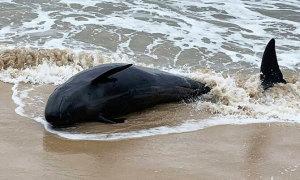 Cá heo 150 kg dạt vào bờ