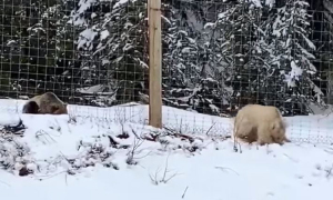 Gấu xám trắng quý hiếm xuất hiện tại Canada