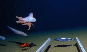 Lần đầu tiên ghi hình bạch tuộc ở độ sâu 7.000 m