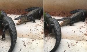 Cá sấu ngoạm đồng loại trước cửa nhà dân