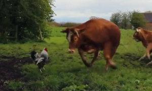 Gà trống đánh bại đàn bò