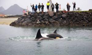 Đàn cá voi sát thủ truy bắt cá đuối ó