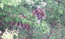Hổ Amur ngã ngửa khi vồ trượt lợn rừng