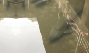 Cá khổng lồ bơi lội dưới cống hoang Nhật Bản