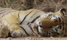 Ếch đâm sầm vào mũi hổ