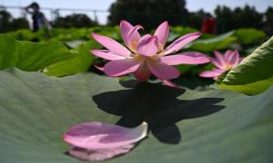 Sen trồng từ hạt giống 100 năm tuổi nở hoa