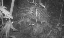 Phát hiện hai loài thú quý hiếm ở Pù Luông