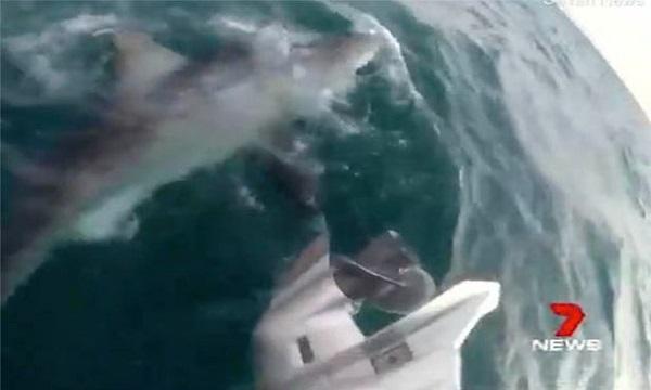 Cá mập trắng 4 m cắn động cơ thuyền