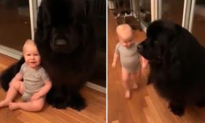 Chó cưng khổng lồ thân thiết với bé trai