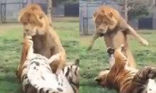 Sư tử bỏ chạy vì bị hổ tát