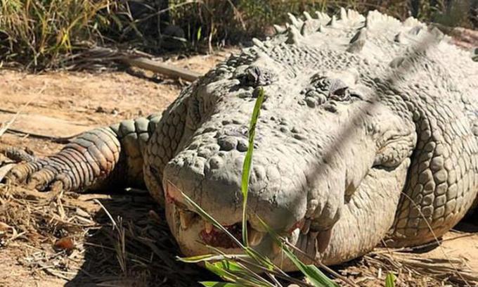 Cá sấu trăm tuổi nặng hơn một tấn chết