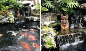 Chủ nhà 'tá hỏa' vì chó becgie ngồi trong hồ cá
