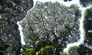 Vì sao có loài cây không bao giờ chạm tán vào nhau?