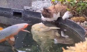 Đàn cá tranh nhau hôn mèo