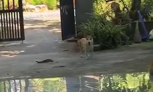 Chó lén đi chơi bị bà chủ phát hiện