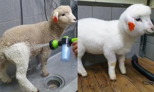 Cừu 'lột xác' ngoạn mục sau khi tắm