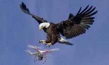 Đại bàng tấn công drone xâm phạm lãnh thổ