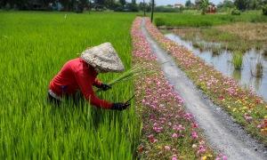 Con đường hoa mười giờ ở ngoại thành Sài Gòn