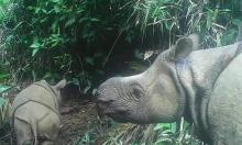 Tê giác cực kỳ nguy cấp chào đời trên đảo Java