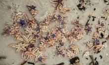 Hàng nghìn sao biển dạt vào bờ sau bão