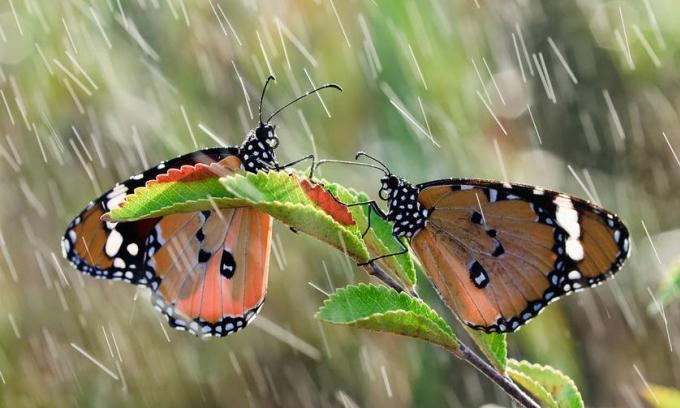 Vì sao bướm bay được trong mưa rào