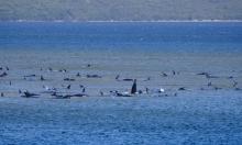 270 con cá voi mắc cạn ven đảo Tasmania