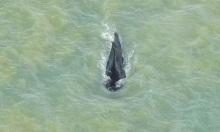 Cá voi lưng gù thoát khỏi sông cá sấu