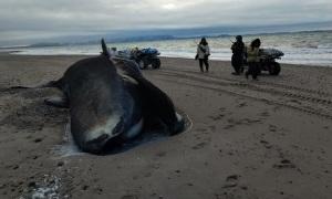 Cá voi sát thủ tàn sát cá voi đầu cong